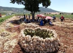 بدء موسم حصاد الثوم في تركيا.. زيادة في الانتاج وانخفاض في الأسعار