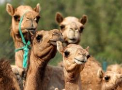 مسابقات الجَمال تُشعل الطلب على استنساخ الإبل في الإمارات