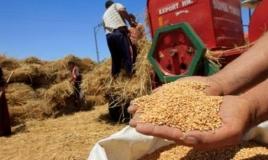 حيوانان نافقان تسببا في رجوع القمح الفرنسي