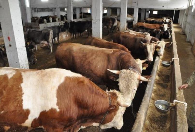 توقعات بارتفاع نحو ألف ليرة في كل رأس ماشية